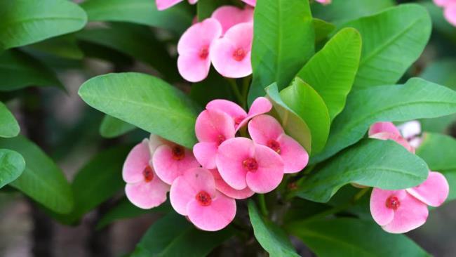 Sintesis lapan bunga kaktus pertama yang paling indah
