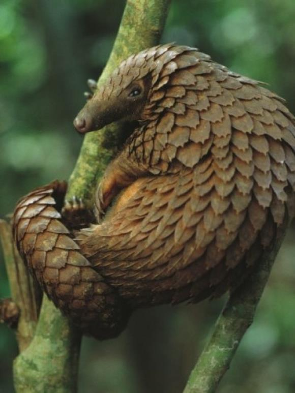 Sintesis foto pangolin yang paling indah