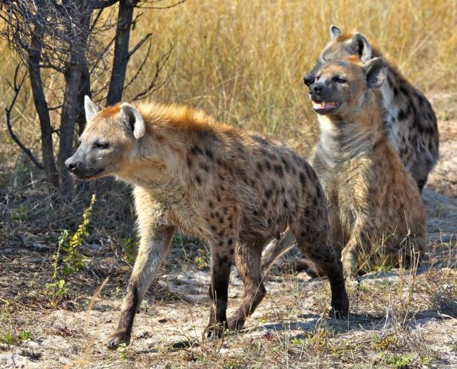 Mensintesiskan gambar hyena yang paling indah