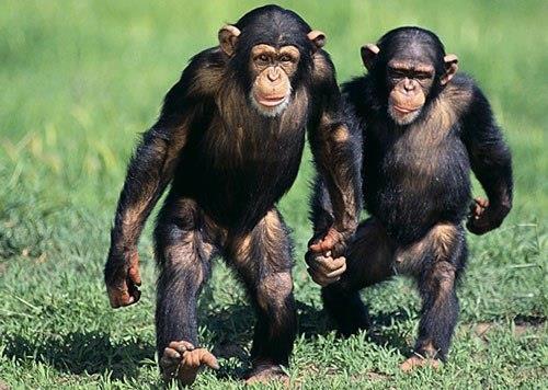 Mensintesiskan gambar simpanse yang paling cantik