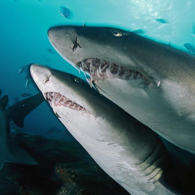 Synthese des schönsten Haibildes - Killer des Ozeans