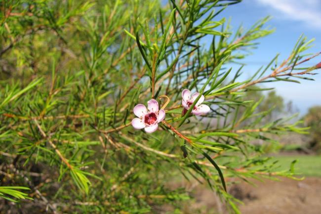 Sintesis gambar bunga willow yang paling indah