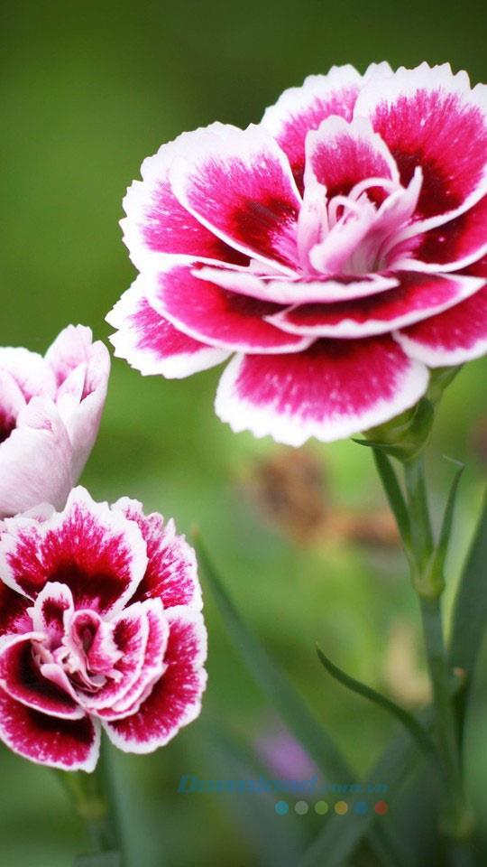 Hintergrundbilder für Blumen für Ihr Handy